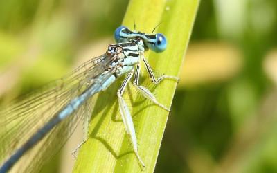 Platycnemis pennipes pióronóg  i od razu widać dlaczego go tak nazwano
