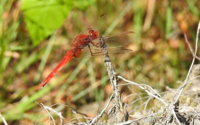 samiec Crocothemis erythraea szafranki czerwonej , ciepłolubnej ważki, którą coraz częściej można spotkać