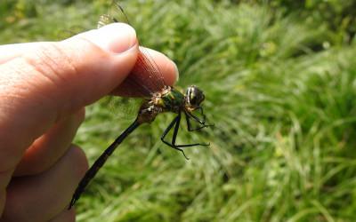 Somatochlora flavomaculata miedziopierś żółtoplama, aby nie zrobić krzywdy ważce należy ją trzymać za skrzydła