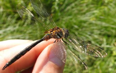 Somatochlora flavomaculata miedziopierś żółtoplama, lub za wszystkie nogi