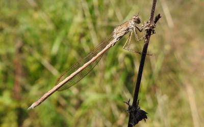 Sympecma paedisca straszka syberyjska, przykład ważki równoskrzydłej