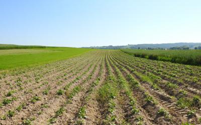 Uprawy roślin okopowych to podstawowe siedlisko kuropatwy