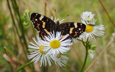 rusałka kratkowiec Araschnia levana f. prorsa (forma letnia)
