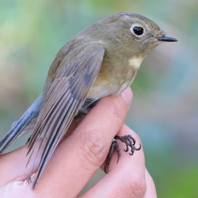 Modraczek zaobrączkowany czyli ornitologiczna sensacja w Kaliszanach
