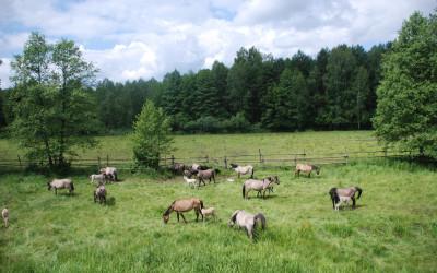 Koniki biłgorajskie w Rezerwacie Szklarnia, fot. Jolanta Kiszka