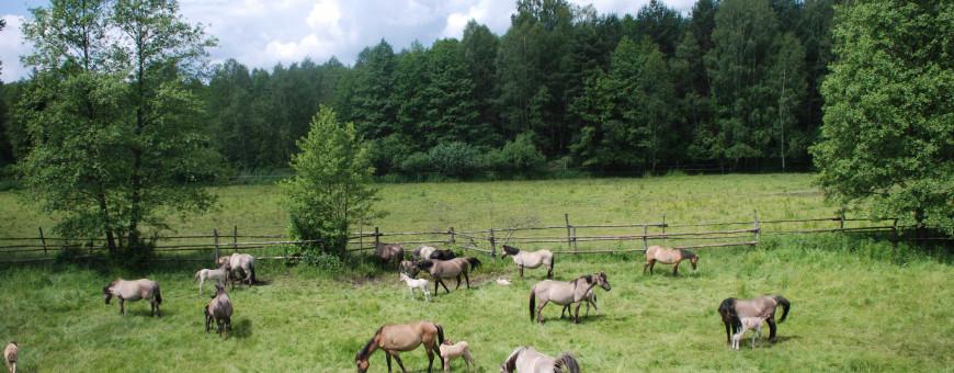 Konie biłgorajskie