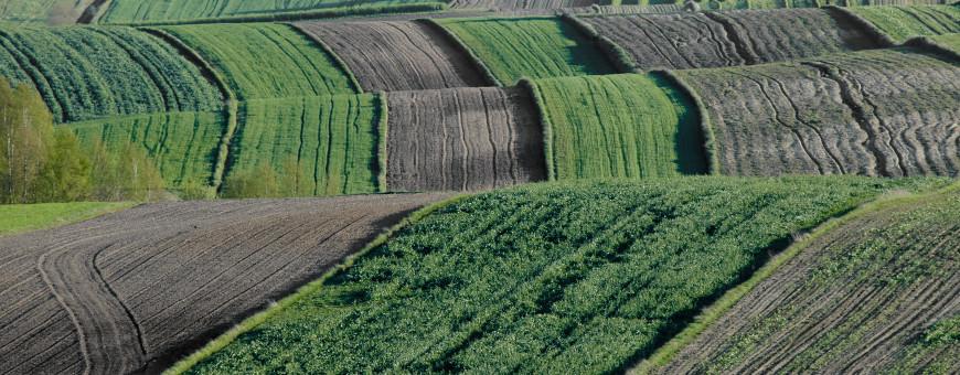 Falujące pola
