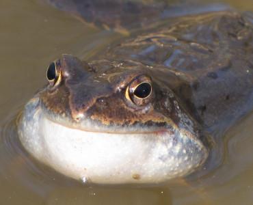 Żaby trawnej murmurando