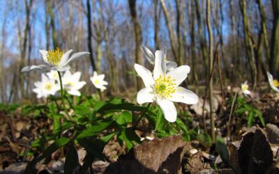 Runo leśne na wiosnę z kwitnącymi zawilcami gajowymi (fot. K. Wojciechowski)