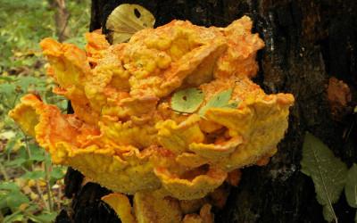 Żółciak siarkowy (fot. K. Wojciechowski)