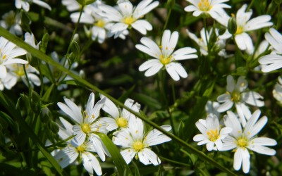 Gwiazdnica wielkokwiatowa Stellaria holostea (fot. M. Grabek)