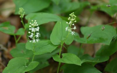 Konwalijka dwulistna Maiatheum bifolium (fot. M. Grabek)