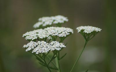 Krwawnik pospolity Achillea millefolium (fot. M. Grabek)