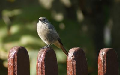 Kopciuszek Phoenicurus ochruros (fot. M. Grabek)