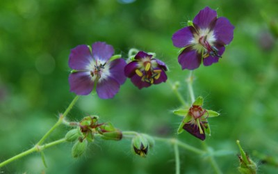 Bodziszek żałobny Geranium phaeum (fot. M. Grabek)