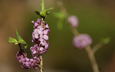 Wawrzynek wilczełyko Daphne mezereum (fot. M. Grabek)