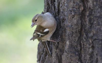 Zięba Fringilla coelebs (fot. M. Grabek)