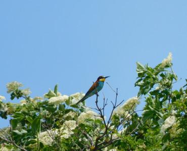Żołna - rajski ptak z Nadbużańskiego Obszaru Chronionego Krajobrazu