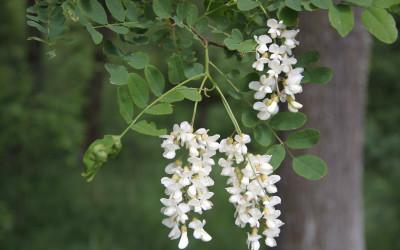Robinia akacjowa w okresie kwitnienia