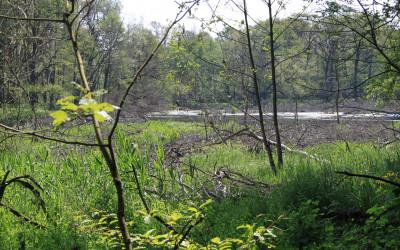 Starorzecze widziane od strony rezerwatu (2)