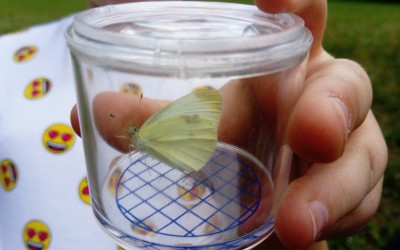 bielinek kapustnik Pieris brassicae
