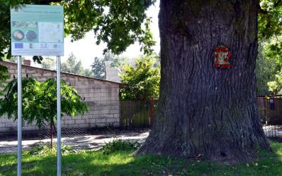 Dąb pomnik przyrody w Tuszowie