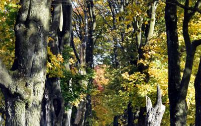 aleja zasłużonych ... drzew