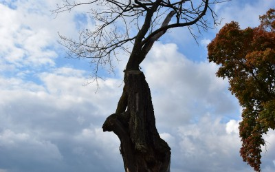 drzewo jak z Konopielki