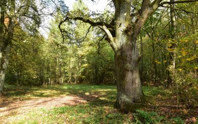 stary dąb w lesie Bratnik