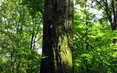 Buk - pomnik przyrody