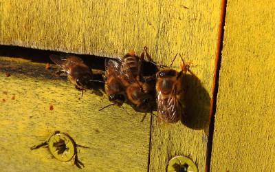 pszczoła miodna Apis melifera