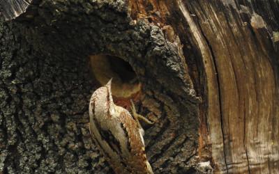 krętogłów Jynx torquilla (5)