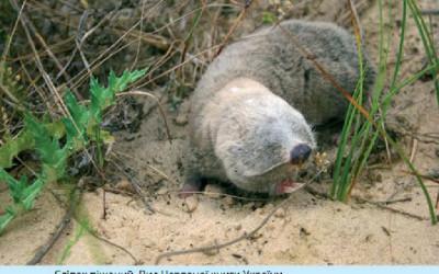 Rzadki gatunek ssaka - ślepiec piaskowy