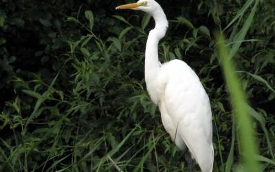 biała elegantka - czapla biała