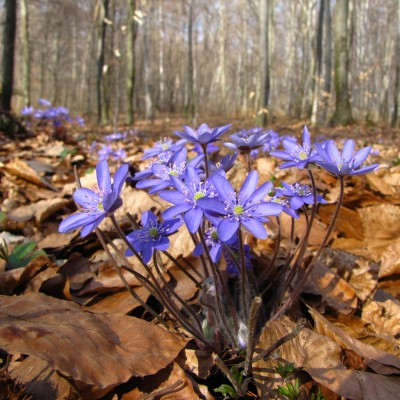 Wiosenne buczyny