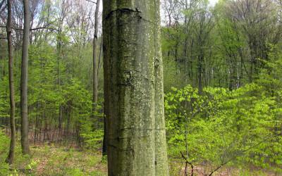 u stóp leśnego mocarza