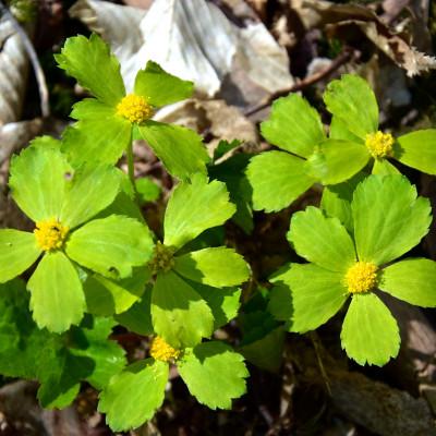 Cieszynianka wiosenna – nasza botaniczna perełka