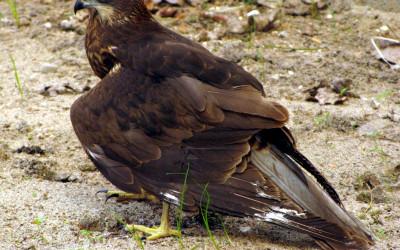 Samica błotniaka stawowego z uszkodzonym skrzydłem