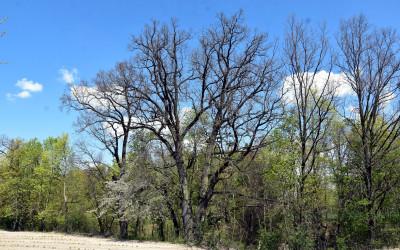 Dąb - pomnik przyrody wczesną wiosną