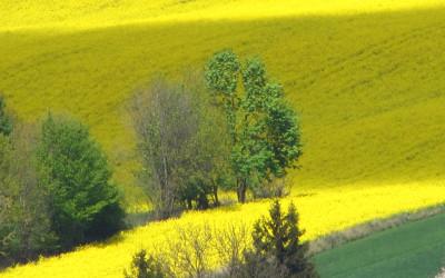 na żółtym dywanie