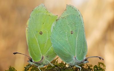 Listkowiec cytrynek (Gonepteryx rhamni), fot. A. Podściański
