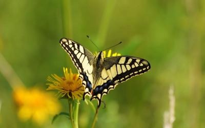 Paź królowej (Papilio machaon), fot. Archiwum ZLPK