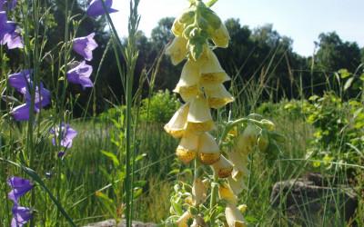 Naparstnica zwyczajna (Digitalis grandiflora Mill.), fot. K. Tchórzewski