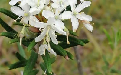 Bagno zwyczajne (Rhododendron tomentosum), fot. J. Kiszka ZLPK OZ w Janowie Lubelskim