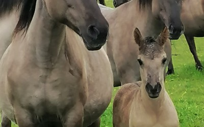 Konie biłgorajskie (1), fot. J. Kiszka ZLPK OZ w Janowie Lubelskim