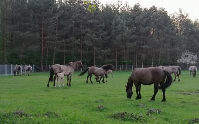Konie biłgorajskie, fot. J. Kiszka ZLPK OZ w Janowie Lubelskim