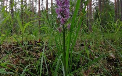 Kukułka Fuchsa (Dactylorhiza fuchsii (Druce) Soó), fot. J. Kiszka ZLPK OZ w Janowie Lubelskim