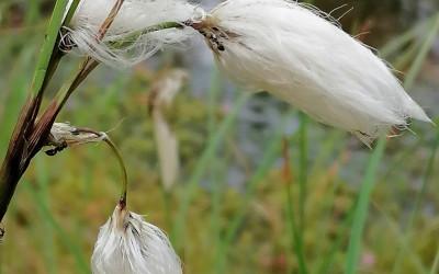 Wełnianka wąskolistna (Eriophorum angustifolium), fot. J. Kiszka ZLPK OZ w Janowie Lubelskim