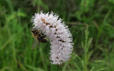 Pszczoła miodna (Apis mellifera) (2), fot. Archiwum ZLPK OZ w Zamościu