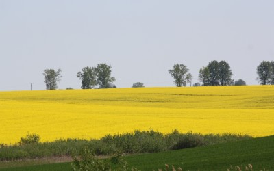 Rzepakowe pole, fot. Archiwum ZLPK OZ w Zamościu